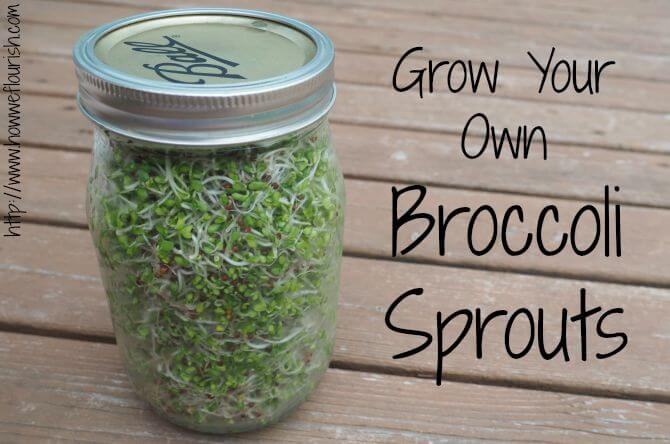 Broccoli Sprouts At Home Super Healthy